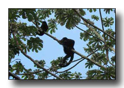 Bacalar Tours Paay Bej - Monkeys at Kohunlich